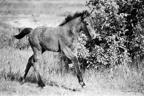 Foal at a gallop - Belfegor Stable, Wroclaw, Poland 2004-2006
