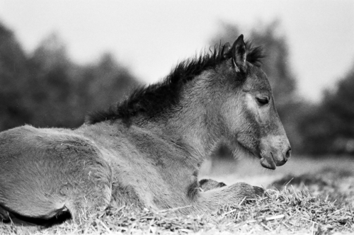 Resting foal - Belfegor Stable, Wroclaw, Poland 2006