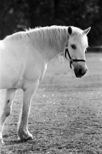 Grey mare - Belfegor Stable, Wroclaw, Poland 2006