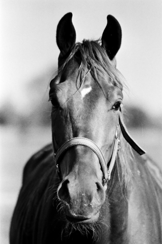 Portrait of a chestnut mare - Belfegor Stable, Wroclaw, Poland 2006