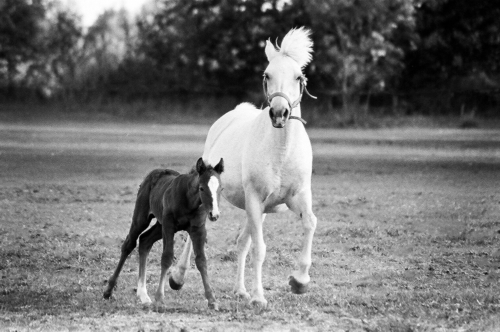 Mare and foal at a gallop - Belfegor Stable, Wroclaw, Poland 2006