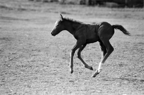 Foal at gallop - Belfegor Stable, Wroclaw, Poland 2006