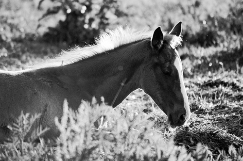 Resting foal - Belfegor Stable, Wroclaw, Poland 2005