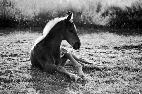 Chestnut resting foal - Belfegor Stable, Wroclaw, Poland 2005