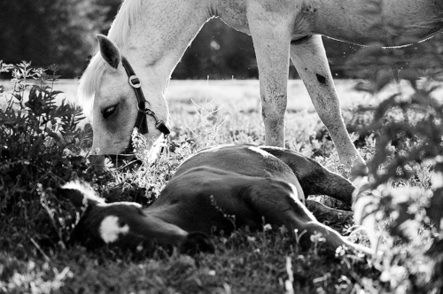 Mare and resting foal - Belfegor Stable, Wroclaw, Poland 2005