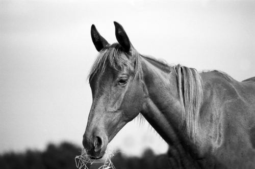 Chestnut mare - Belfegor Stable, Wroclaw, Poland 2004-2006