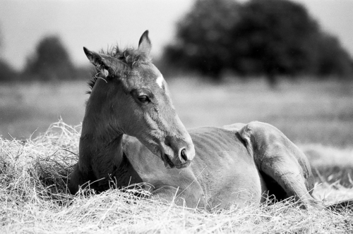 Chestnut resting foal - Belfegor Stable, Wroclaw, Poland 2004-2006