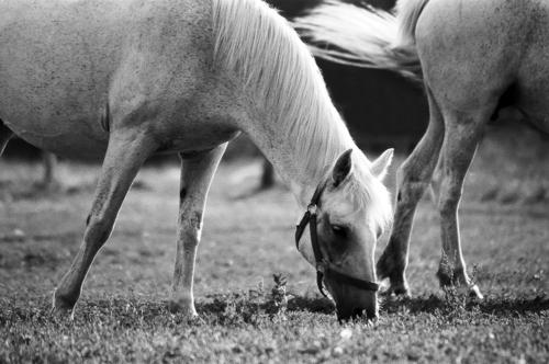 Grey mares - Belfegor Stable, Wroclaw, Poland 2006