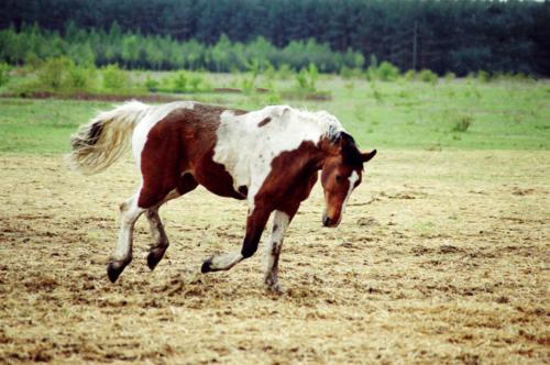 Apacz - Horse Sanctuary Tara, Poreby, Poland 2005