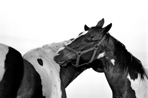 Piebald friendship - Horse Sanctuary Tara, Poreby, Poland 2005