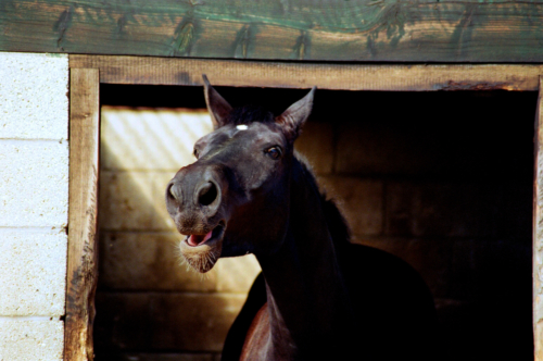 Portrait of a gelding, Nether Westcote, UK, 2007