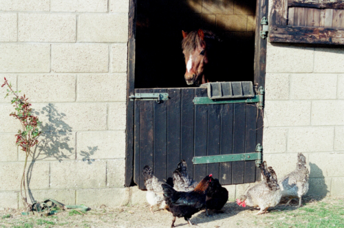 Pony in stable, Nether Westcote, UK, 2007