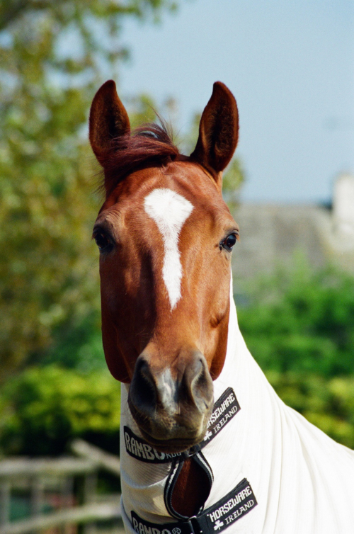 Portrait of a gelding Eric, Nether Westcote, UK, 2007