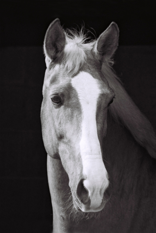 Portrait of a gelding, Nether Westcote, UK, 2007