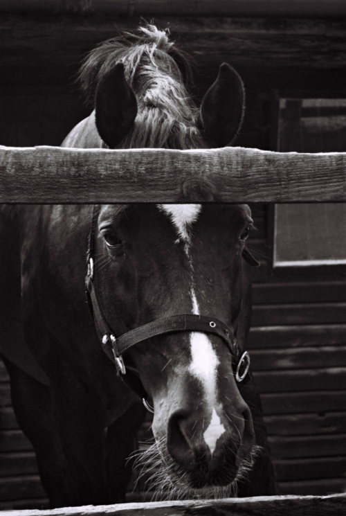 Portrait of a stallion Pony, Nether Westcote, UK, 2007