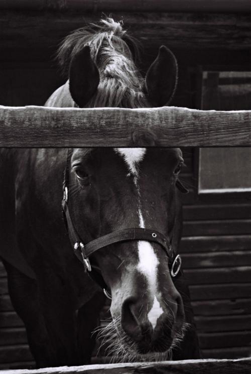 Portrait of a stallion Pony, Nether Westcote, UK, 2007