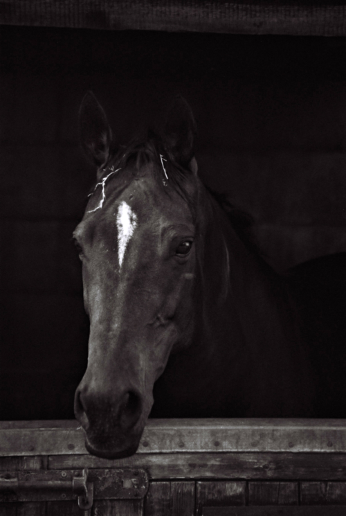 Portrait of a mare Lola in stable, Nether Westcote, UK, 2007