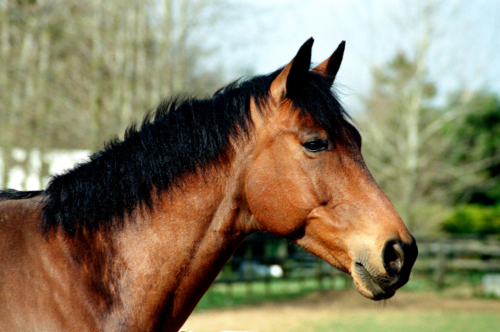 Portrait of a gelding Bruno, Nether Westcote, UK, 2007