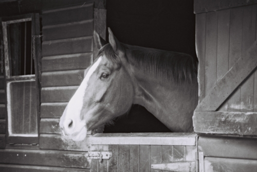 Portrait of a mare Amelia, Nether Westcote, UK, 2007