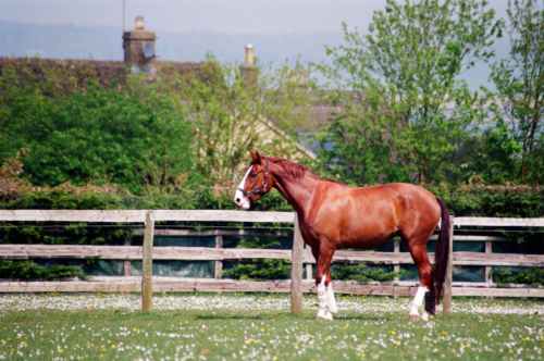 Mare Amelia in the field, Nether Westcote, UK, 2007