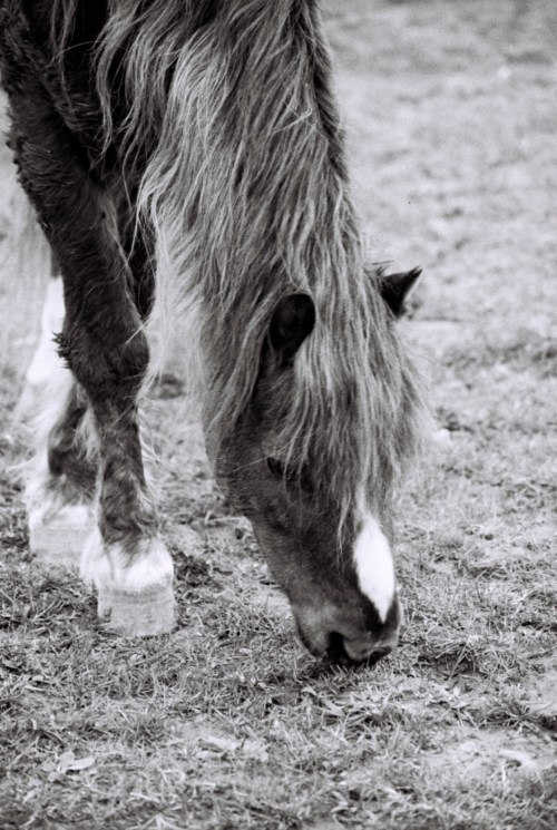 Pony in the field, Nether Westcote, UK, 2007