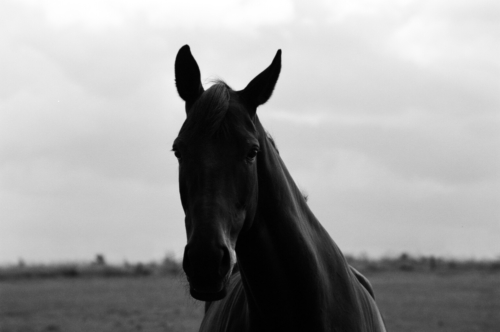 Portrait of a mare Layla, Nether Westcote, UK, 2007