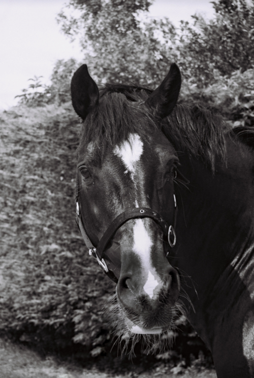 Stallion Pony, Nether Westcote, UK, 2007