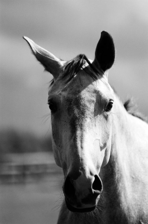 Portrait of a mare Twiggy, Nether Westcote, UK, 2007