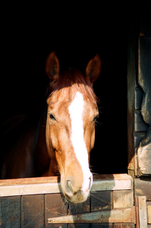 Mare Amelia in the stable, Nether Westcote, UK, 2007