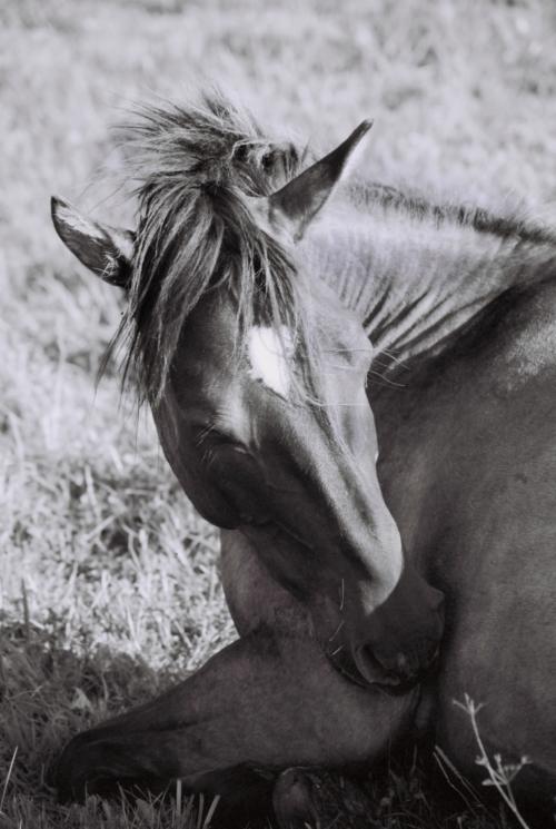 Hucul pony, Gladyszow Stud, Poland, 2007