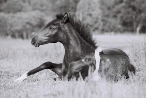Hucul ponies from Gladyszow Stud, Poland 2007