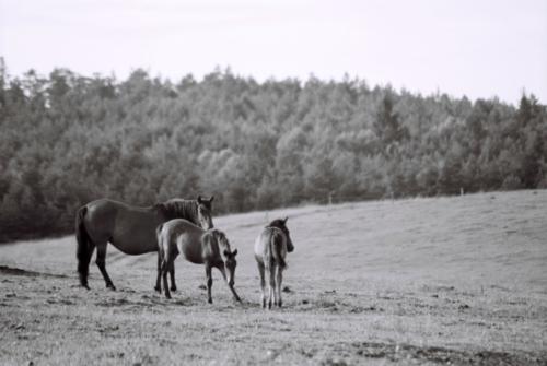Herd of Hucul horses, Gladyszow Stud, Poland, 2007