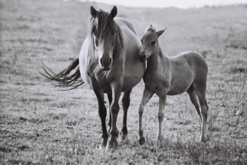 Hucul mare with foal, Gladyszow Stud, Poland, 2007