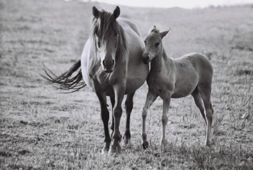 Hucul mare with foal, Gladyszow Stud, Poland, 2007