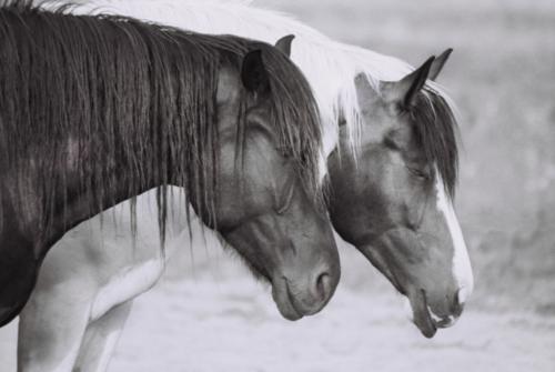 Hucul horses, Gladyszow Stud, Poland, 2007