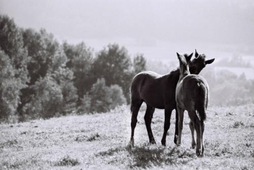 Hucul foals, Gladyszow Stud, Poland, 2007