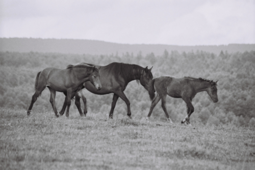 Hucul mare with foals, Gladyszow Stud, Poland, 2007