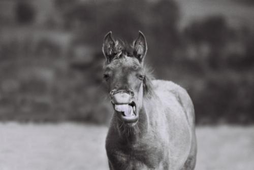 Hucul foal, Gladyszow Stud, Poland, 2007
