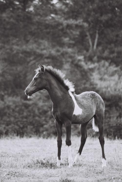 Hucul piebald foal, Gladyszow Stud, Poland, 2007