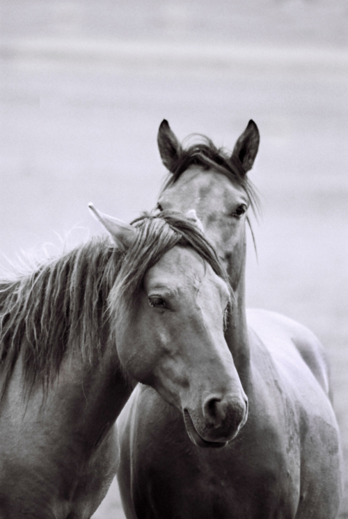 Hucul horses, Gladyszow Stud, Poland, 200778