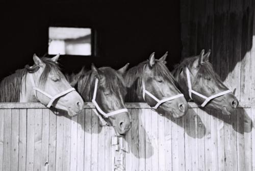Young hucul horses, Gladyszow Stud, Poland, 2007