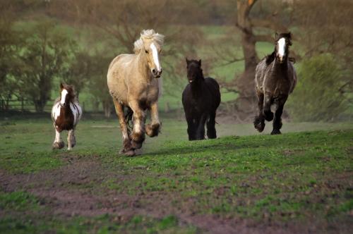 Gypsy Cob Horses, Bromsgrove UK 04/2017