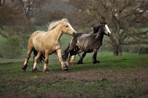 Gypsy Cob Horses from Bromsgrove, UK 2017-2020