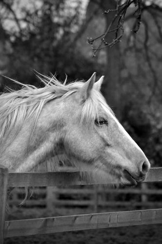 Gypsy Cob Horse, Bromsgrove UK 04/2017