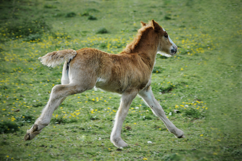 Gypsy Cob Horses, Bromsgrove UK 05/2017